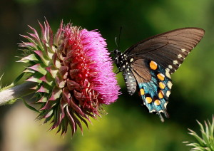 Pipevine Swallowtail and Thistle